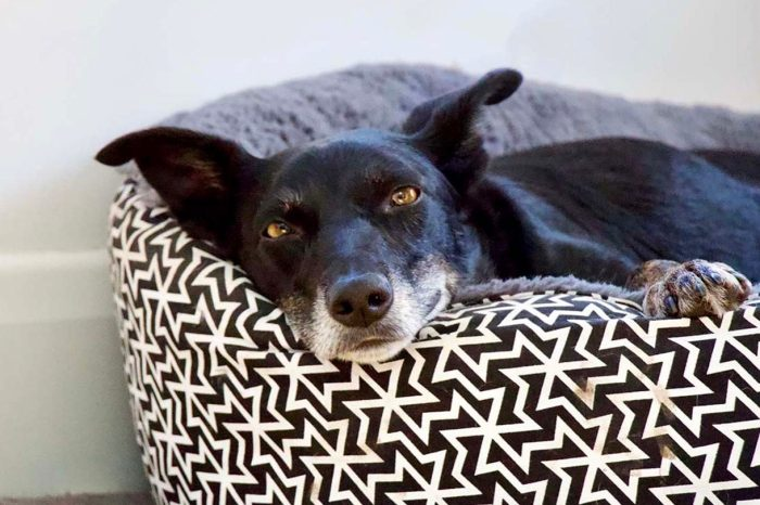 Piper the rescue dog on a housesit with Melbourne Housesitters