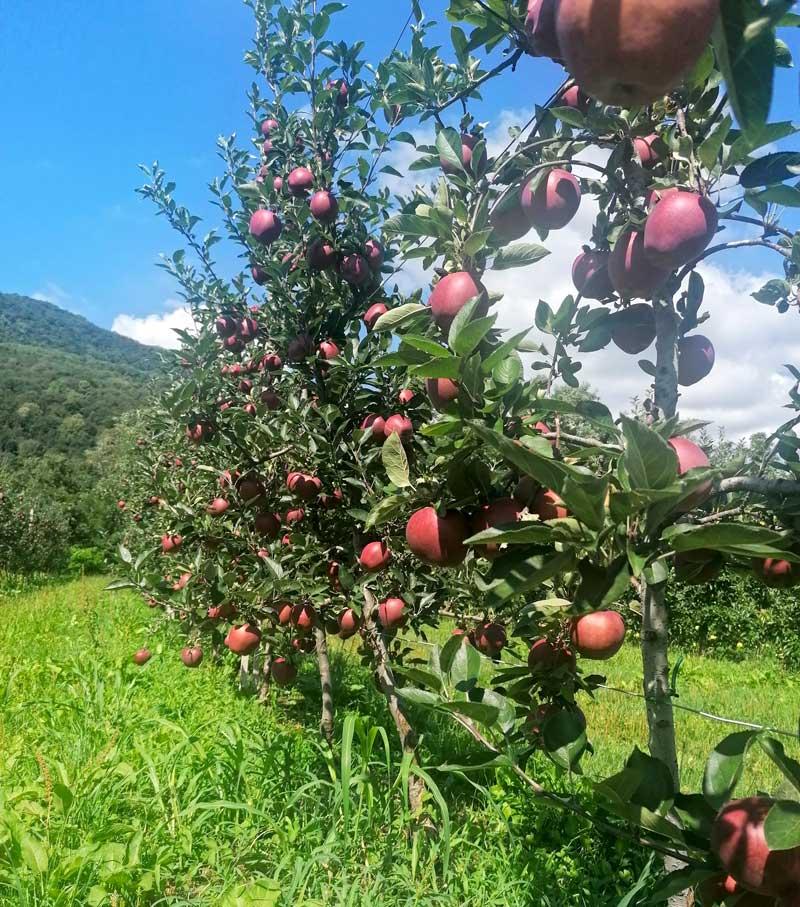 Mele convenzionali in Friuli