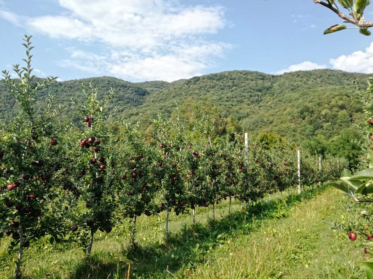 Mele Biologiche Friuli