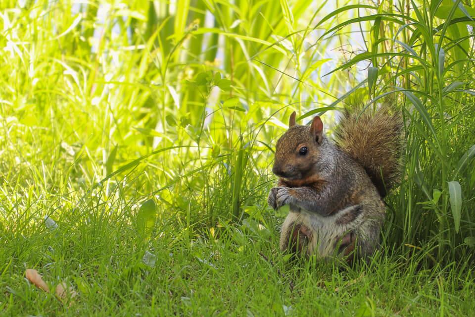 O que fazer em Montreal? Ver os esquilos no Jardim Botanico de Montreal , Canada.