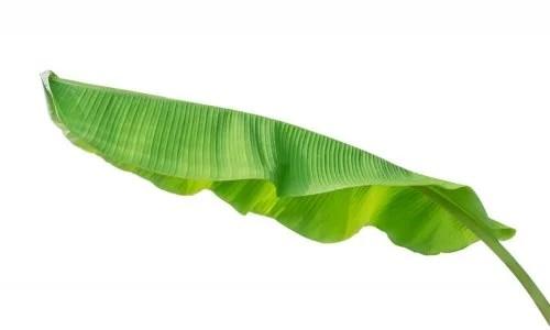 folha-de-bananeira-500x300 Os incríveis benefícios das folhas de bananeira