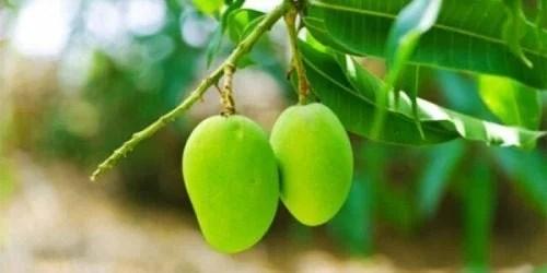 manga-verde-500x250 Infusão de folhas de manga para a diabetes