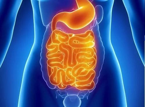 Resultado de imagem para intestino