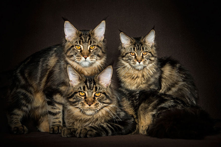 gatos - Maine Coons