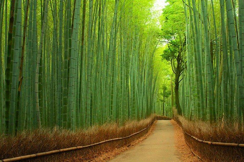 Floresta de bambu - Japão