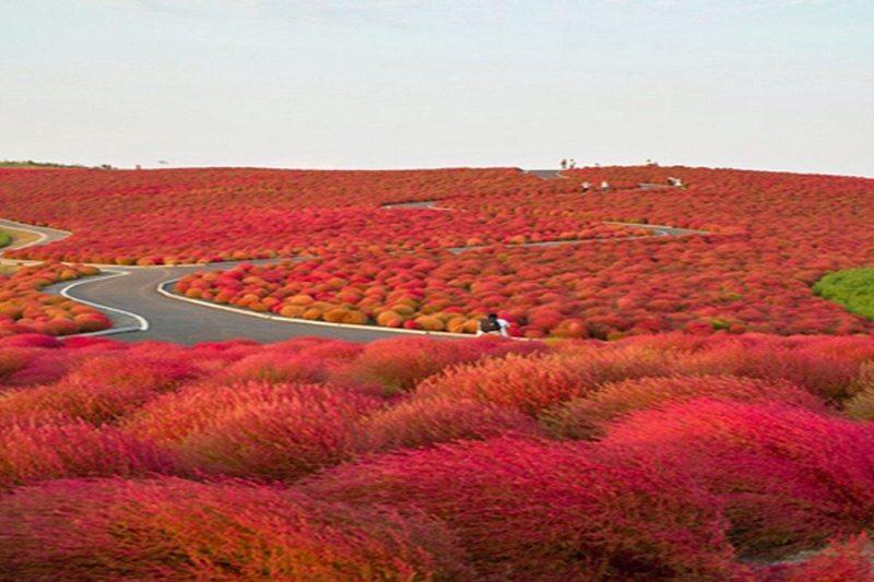 Hitachi Seaside Park - Japão