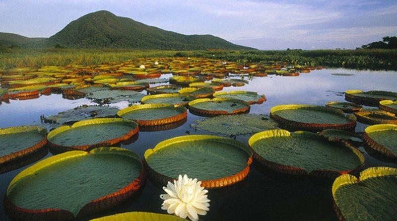Vitória-régia - Pantanal Brasileiro