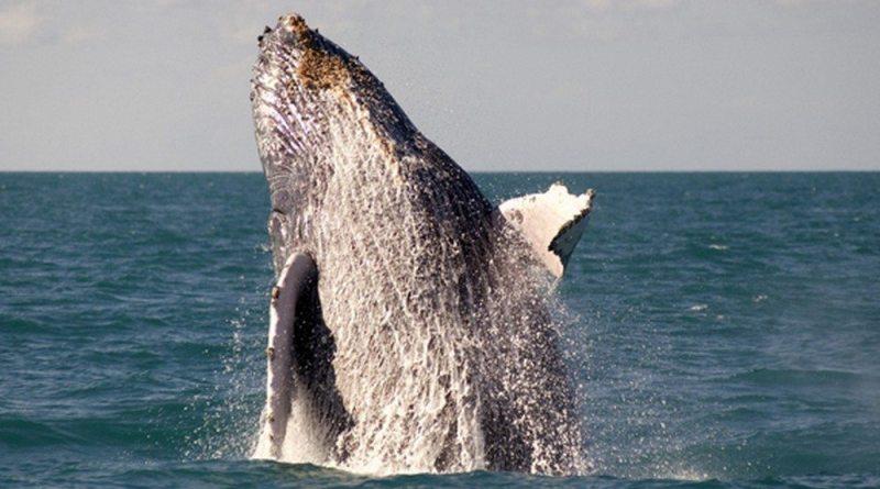 Baleias Jubarte Praias Paradisíacas E Gastronomia Internacional
