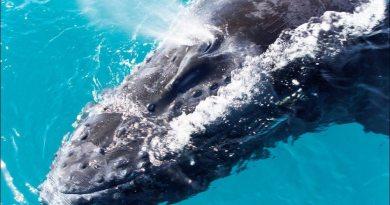 Baleia Jubarte No Litoral Baiano