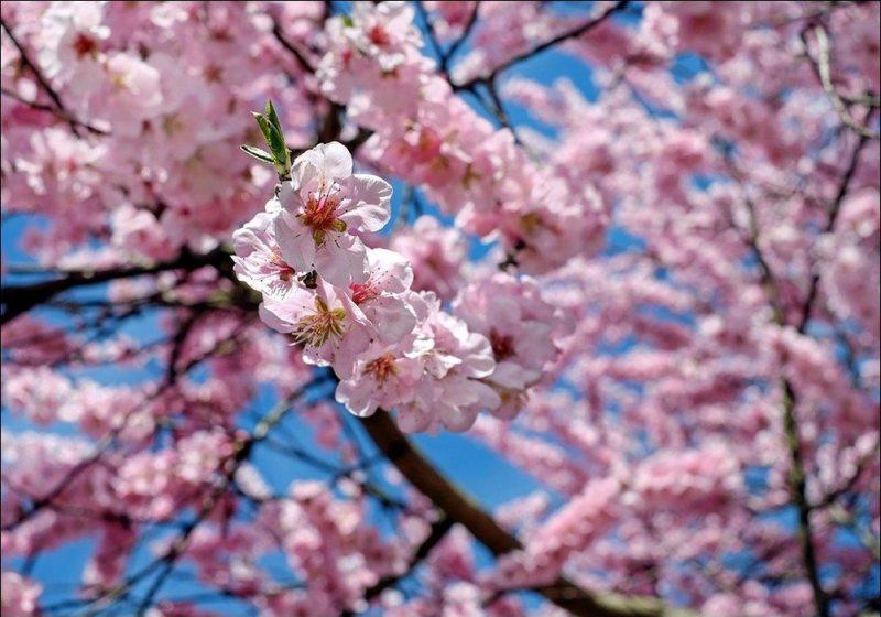 Festa Das Cerejeiras Em Campos Do Jordão