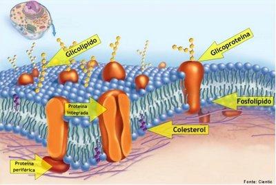 O colesterol é um constituinte essencial da membrana celular