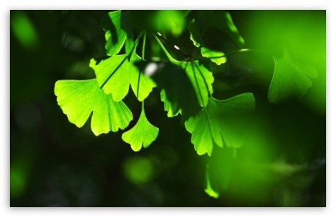 Folhas de Ginkgo