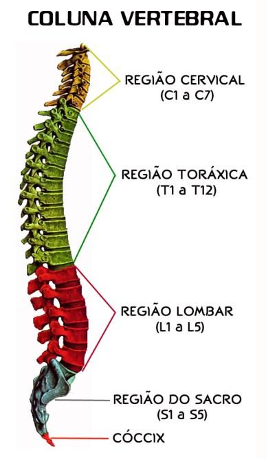 Estrutura da coluna vertebral