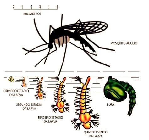 Zika virus mosquito melhorsaude.org melhor blog de saude