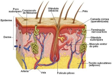 Anatomia da pele melhorsaude.org melhor blog de saude