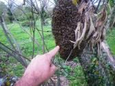 Σμηνουργία μελισσιού Αφαισμός | Την άνοιξη τα μελίσσια σμηνουργούν ακολουθώντας το φυσικό τρόπο πολλαπλασιασμού. Συνήθως ο μισός πληθυσμός φεύγει με την βασίλισσα για να κάνει νέα φωλιά κάπου μακριά, αλλά τις πρώτες ώρες παραμένει κρεμασμένο σε κάποιο κλαδί μέχρι να αποφασίσει που θα πάει