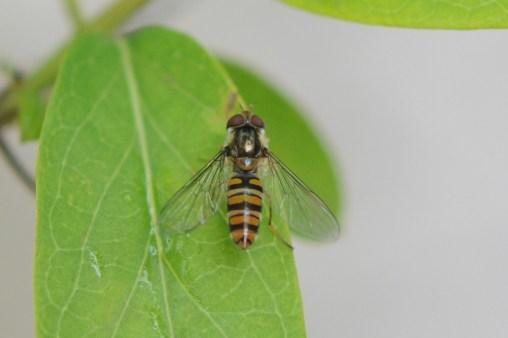 Episyrphus balteatus DSC_0571
