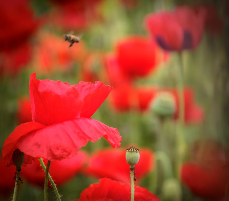 Red Poppy with Bee