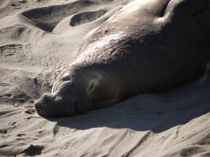 elephant seals san simeon 043