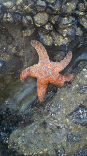 tidal pool starfish