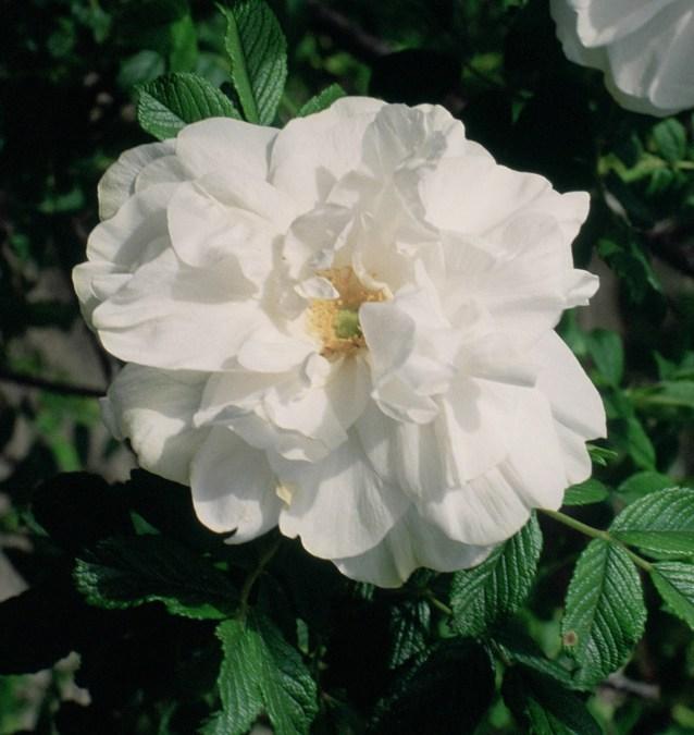 Rosa_'Blanc_Double_de_Coubert'.jpg