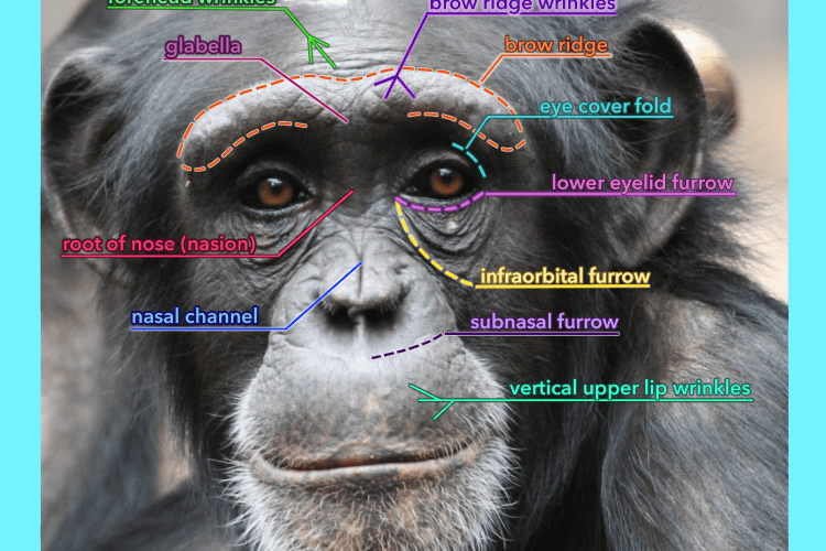 chimpanzee landmark labels