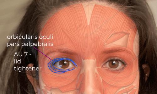 AU7 muscle - oribulcaris oculi, pars palpebralis