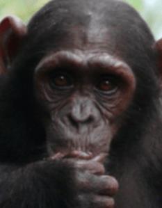 Nigeria-Cameroon chimpanzee - P. troglodytes ellioti (also known as P. t. vellerosus)