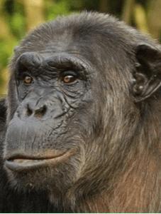 eastern chimpanzee P. troglodytes schweinfurthii