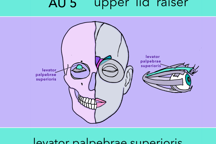 upper lid raiser - levator palpebrae superioris - eye bulge - anatomy