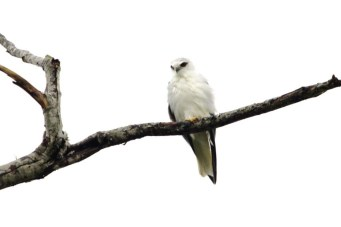 greeted by a beautiful black-shouldered kite over the driveway ... 13/4/2012