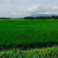 wet season rice paddies