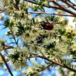 beetles-and-flowers