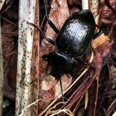 rain-soaked-beetle