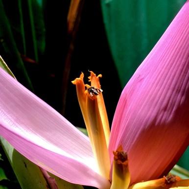 banana plant3 by Melinda J. Irvine