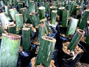 bamboo cuttings ready for replanting