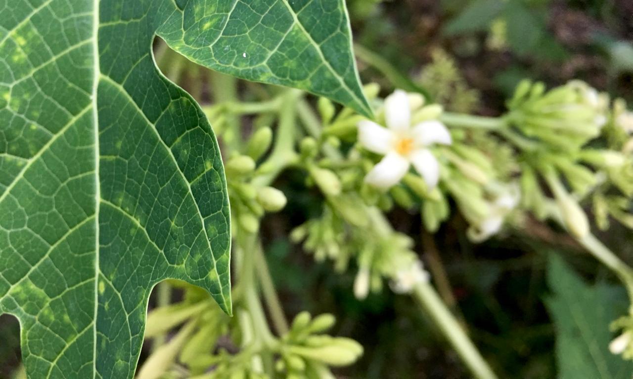 papaya blossom and buds