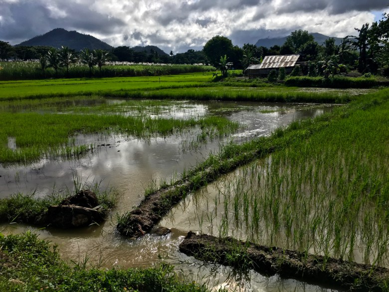 rice fields in the Philippines