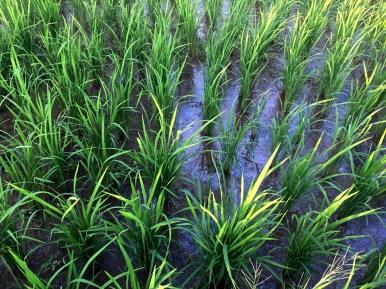 stems of rice