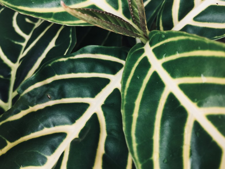 green and white striped leaves