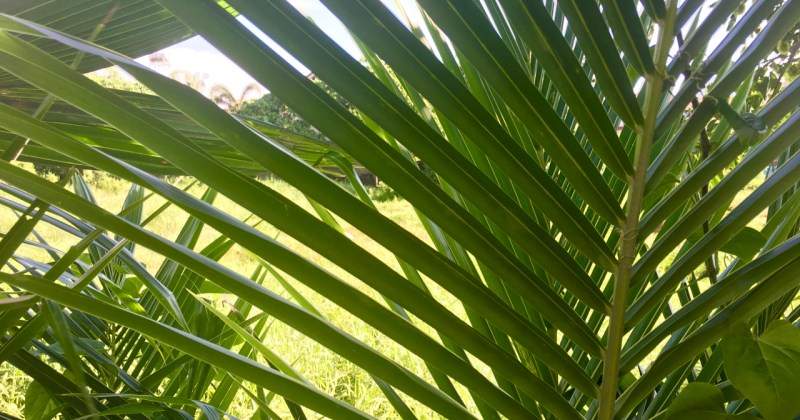 layers of palm fronds