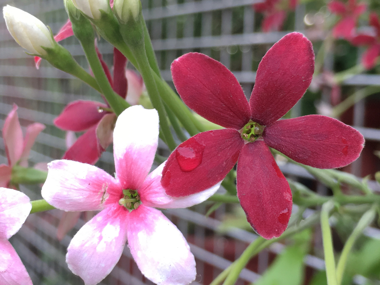 red and pink flowers on a fence
