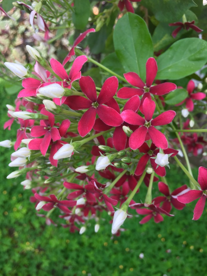 little red flowers with white buds