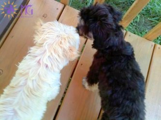 black puppy and white puppy play together friends diary of a dog