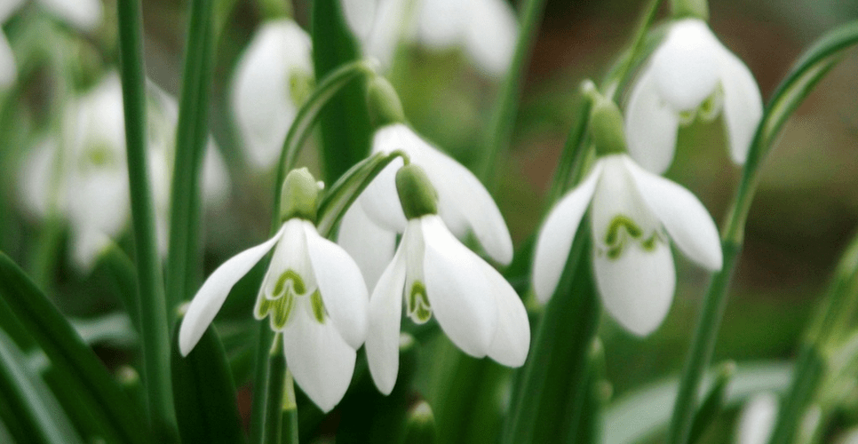 The first stirrings of spring as the snowdrops emerge.