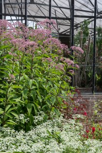 Joe Pye weed near the conservatory