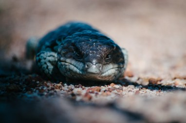 Bob-tail, Stumpy-tail, Sleepy Lizard, Blue Tongue - it seems that every state of Australia has a different name for the Shingleback.