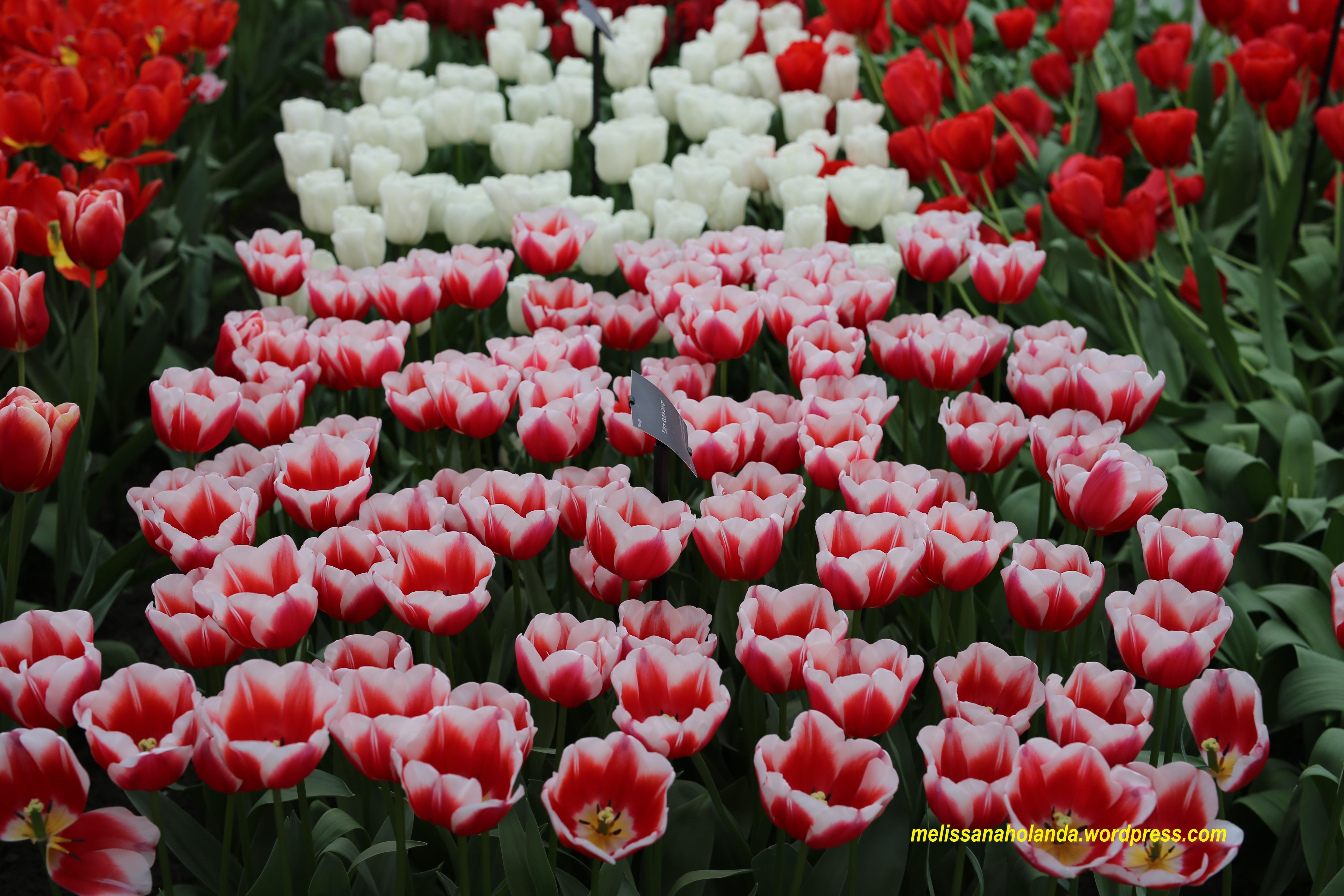 Flores do parque Keukenhof na Holanda