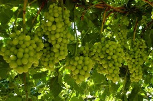 Cotton Candy Grapes 2