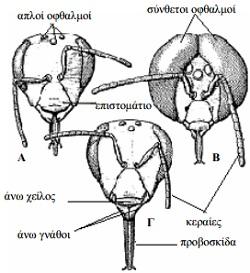 anatomia-melissas
